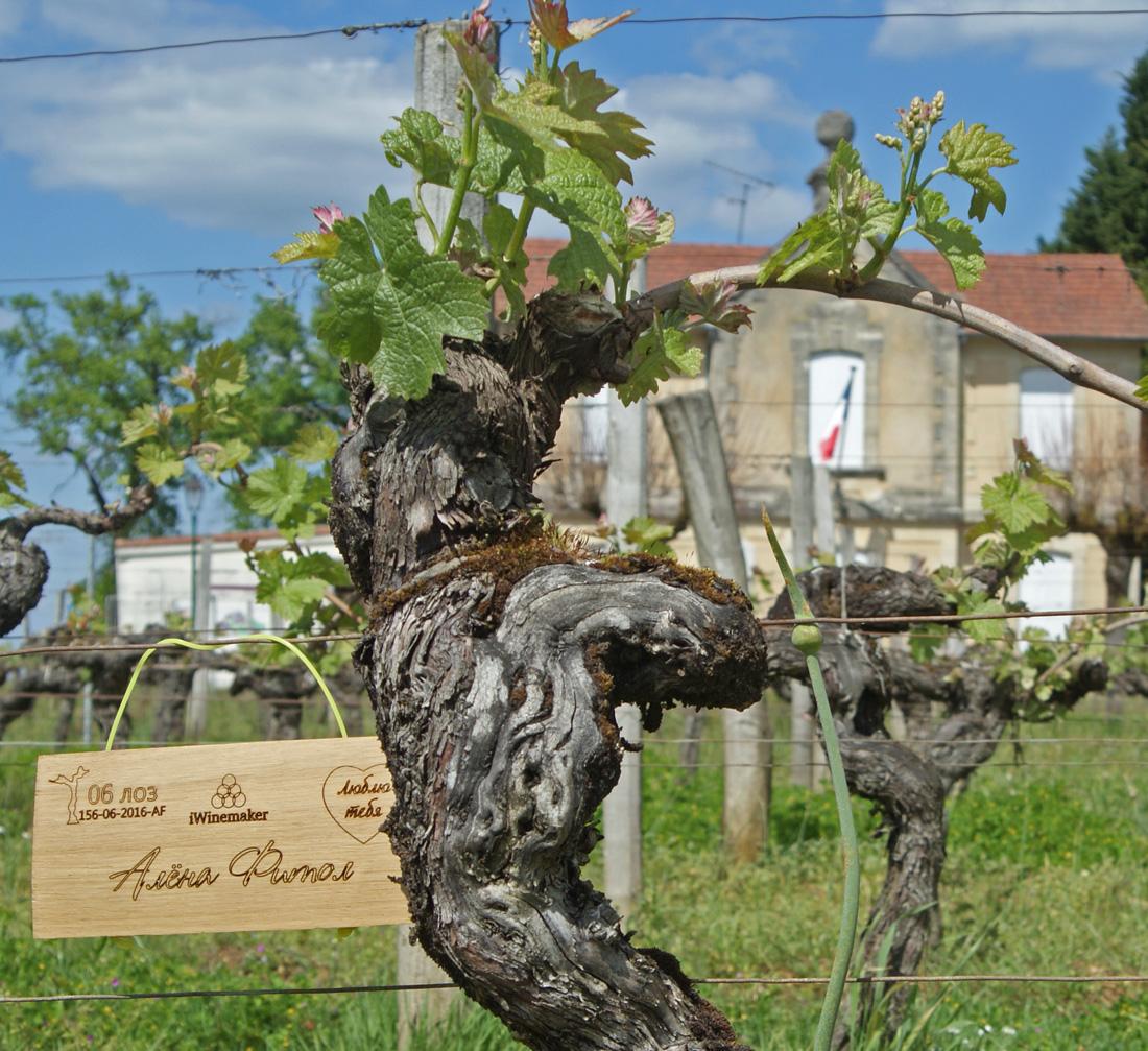 Виноградная лоза в подарок 94